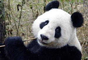 lisa-huang-her-panda.jpg?w=300&h=206